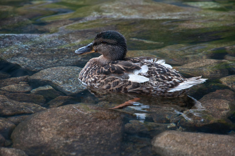 czarny kaczki g sienicowy staw zdjęcie royalty free