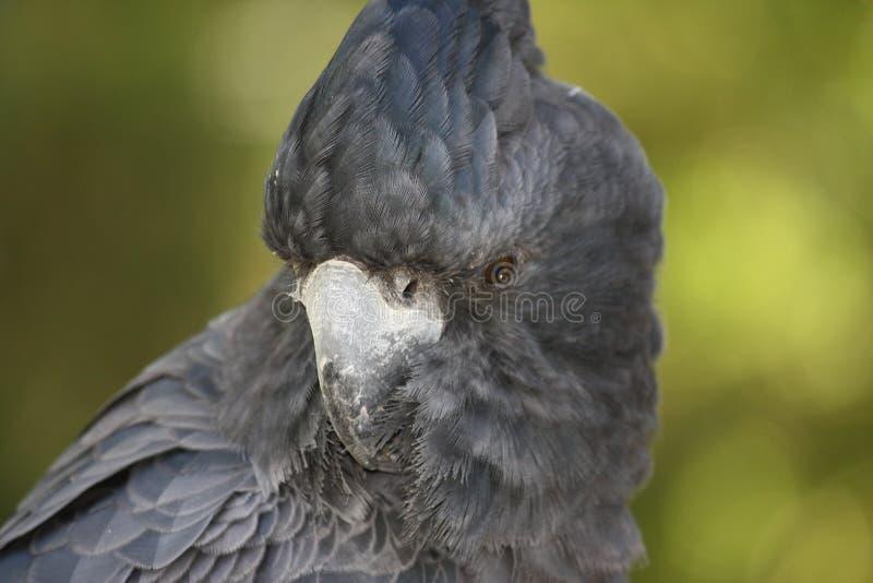 Czarny Kakadu zdjęcie royalty free