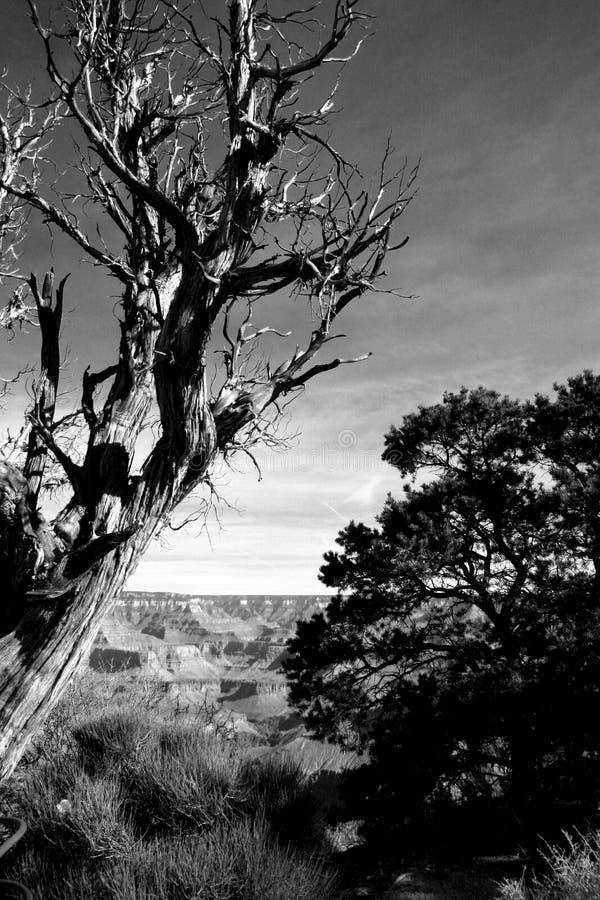 czarny kaleki białe drzewo obraz stock