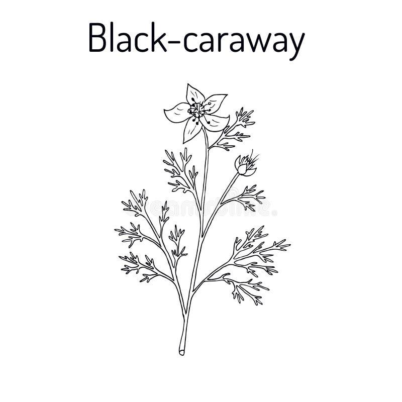 Czarny karolek Nigella sativa, lecznicza roślina royalty ilustracja