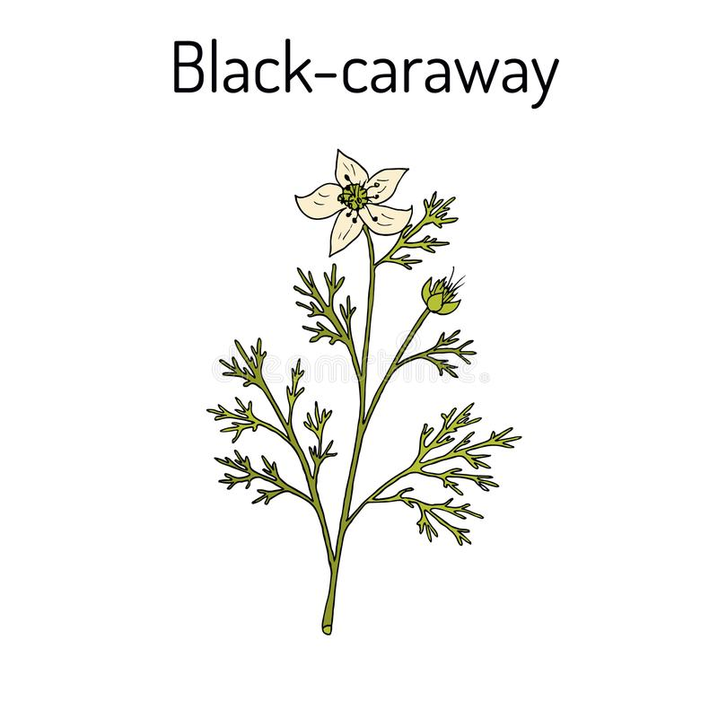 Czarny karolek, Nigella sativa, lecznicza roślina ilustracji