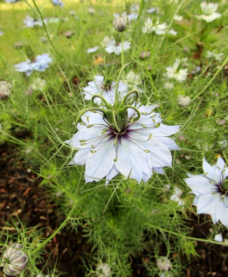 Czarny kmin, Nigella sativa kwiaty/ obraz royalty free