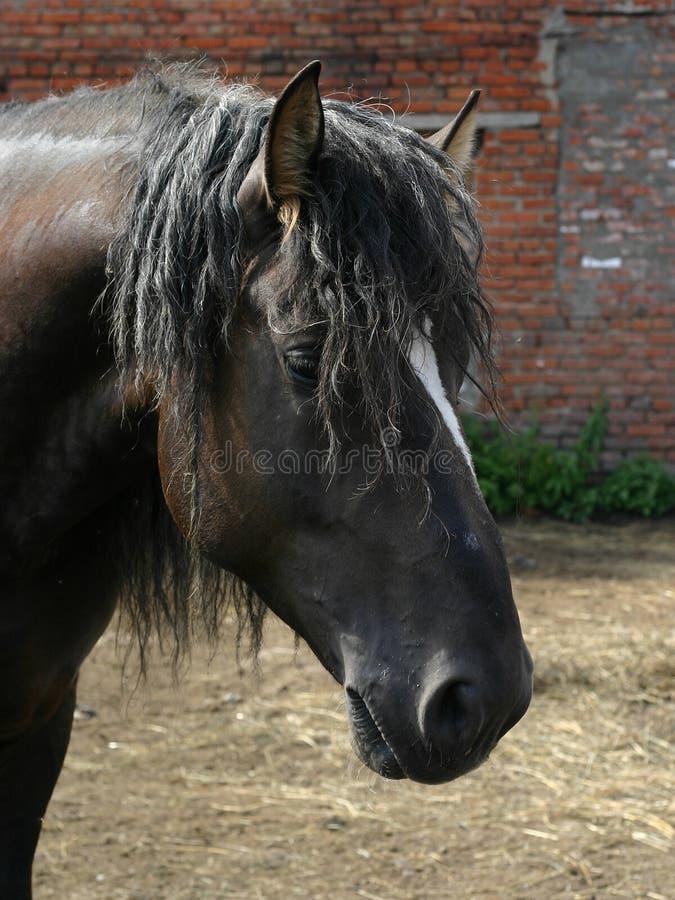 czarny koń rosyjski shire obraz royalty free