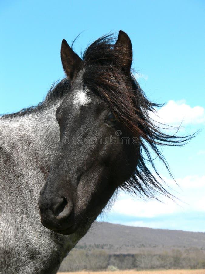 czarny koń white zdjęcie royalty free