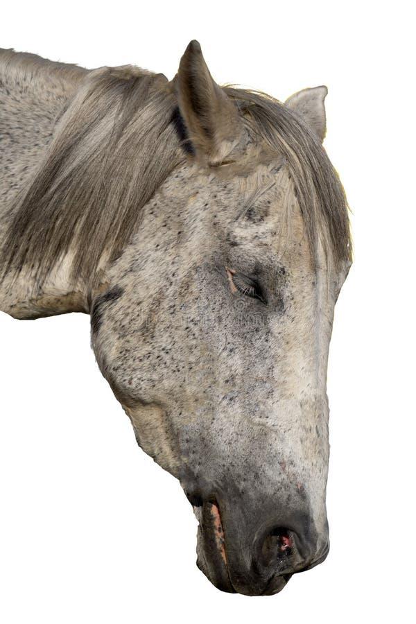 Czarny koński portret w akcji odizolowywającej na bielu zdjęcie royalty free