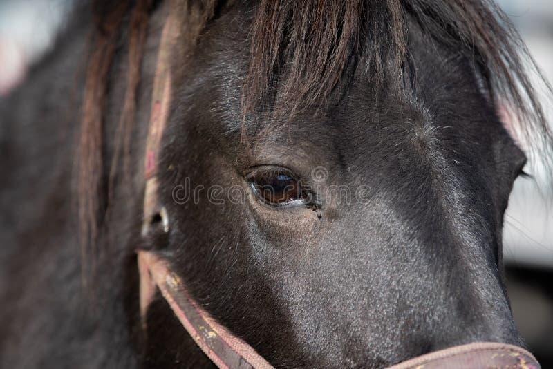 Czarny koński portret w górę zakończenia zdjęcia royalty free