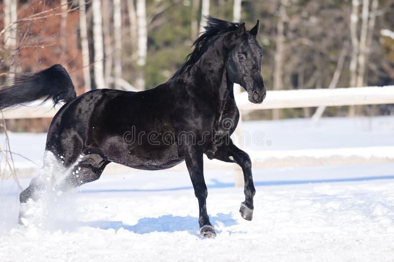 Czarny koński portret w ruchu na śniegu fotografia royalty free