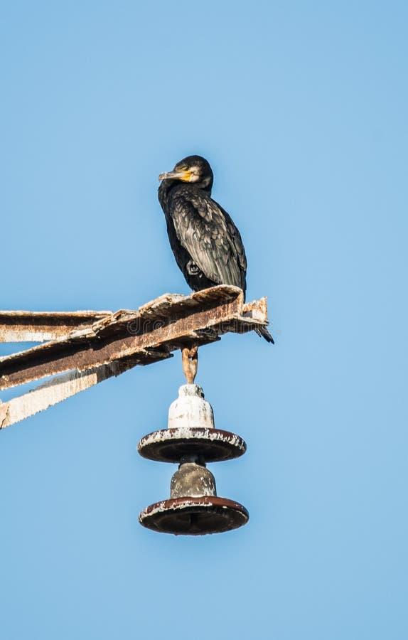 czarny kormoranów zdjęcie royalty free