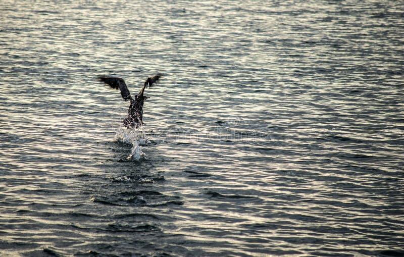 Czarny kormoran zdjęcia royalty free