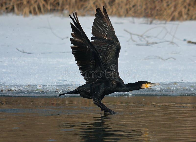 Czarny kormoranu latanie zdjęcia stock