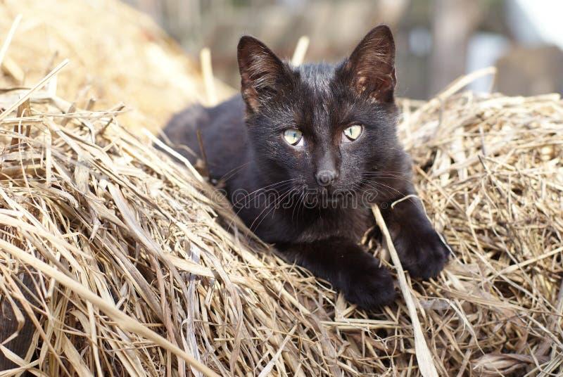 Download Czarny kot obraz stock. Obraz złożonej z suchy, sterta - 13330477
