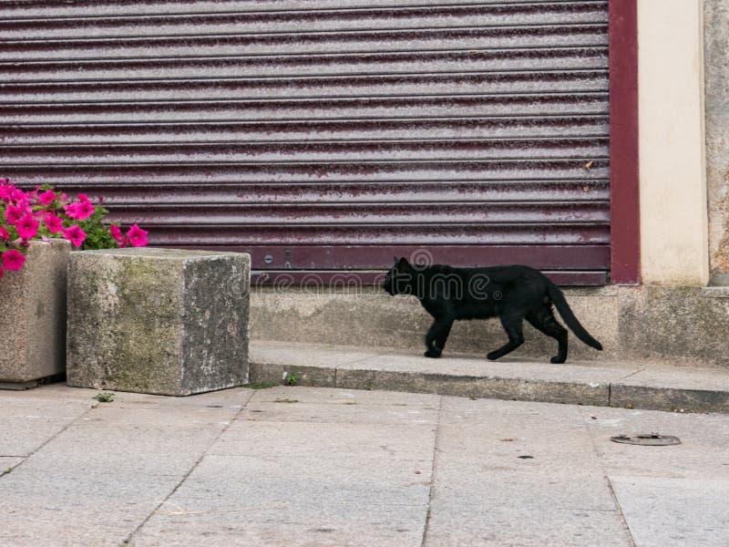 Czarny kot chodzi przed okiennicami na ulicy w kierunku betonowych doniczków kwiatowych obrazy royalty free