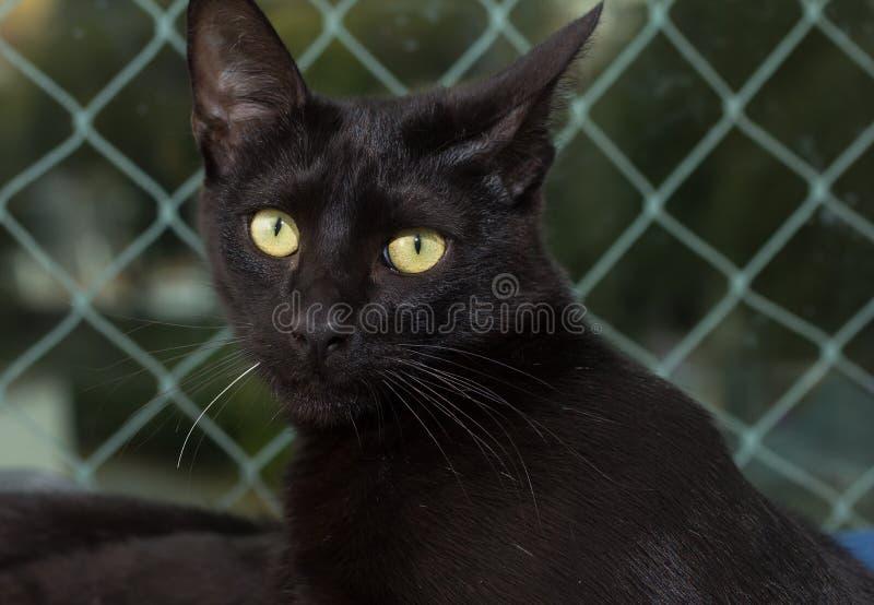 Czarny kot, Halloweenowy pojęcie Portret Domowy koci relaxi zdjęcia royalty free