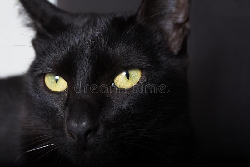 Czarny kot, Halloweenowy pojęcie Portret domowy zwierzę domowe obraz royalty free