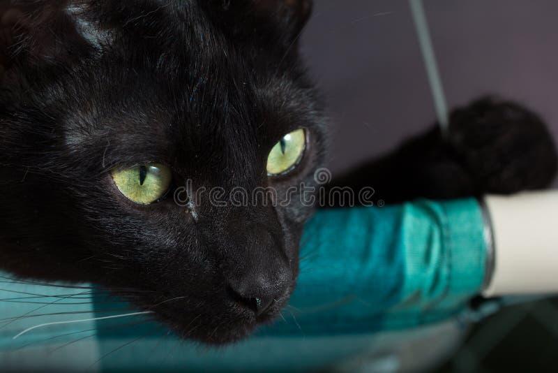Czarny kot, Halloweenowy pojęcie Portret Domowy zwierzęcia domowego odpoczywać fotografia stock