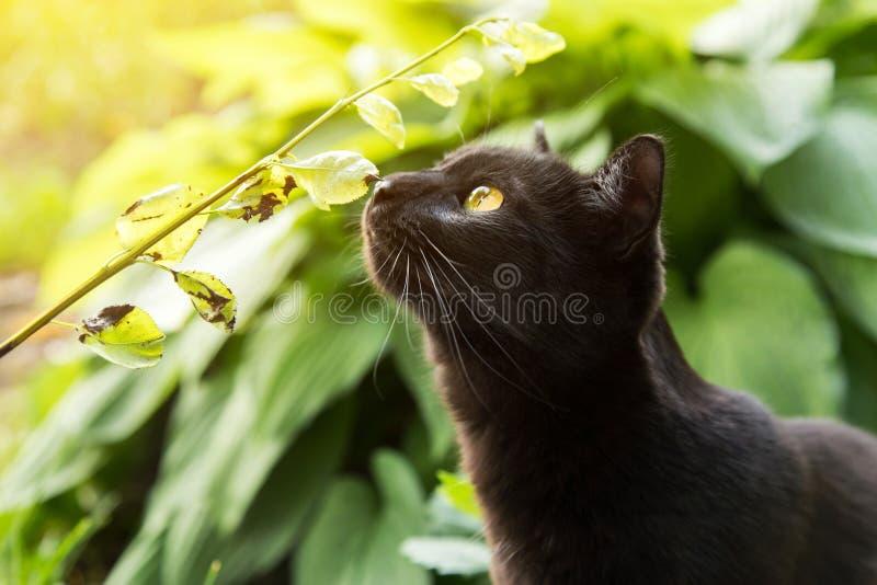 Czarny kot obwąchuje trawy i zasadza outdoors w naturze obrazy stock