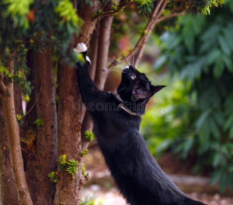 Czarny kot ostrzy swój pazury na cisowym drzewie zdjęcie royalty free
