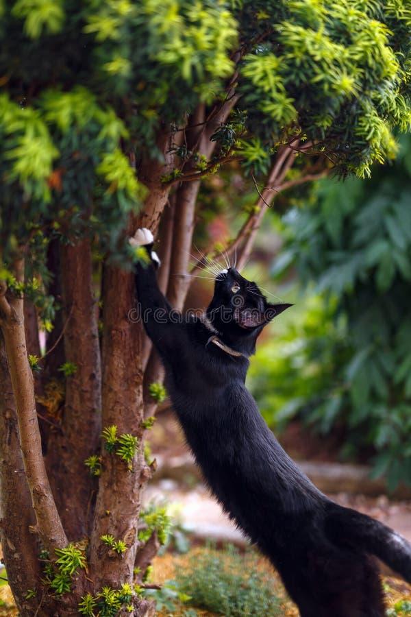 Czarny kot ostrzy sw?j pazury na cisowym drzewie obraz royalty free