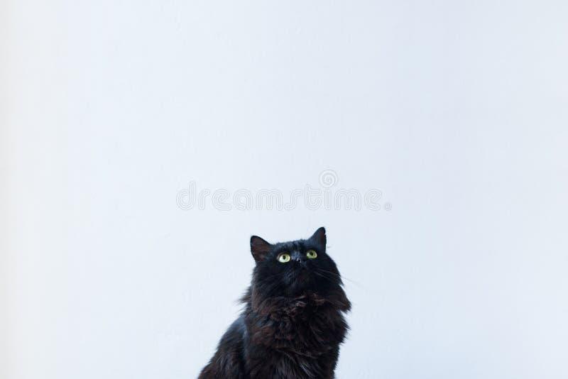 Czarny kot przyglądający up w żywym izbowym położeniu z białą tło ścianą zdjęcia royalty free
