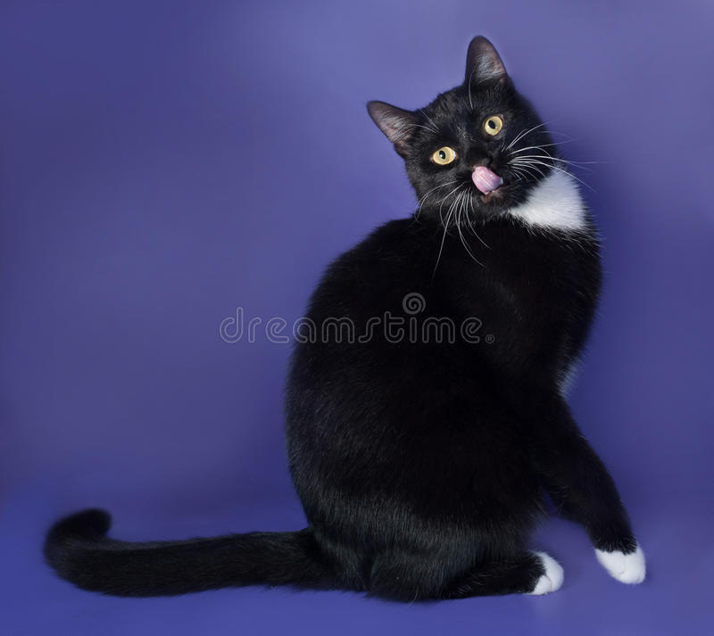 Czarny kot z bielem dostrzega obsiadanie i liżącym na błękicie zdjęcie royalty free