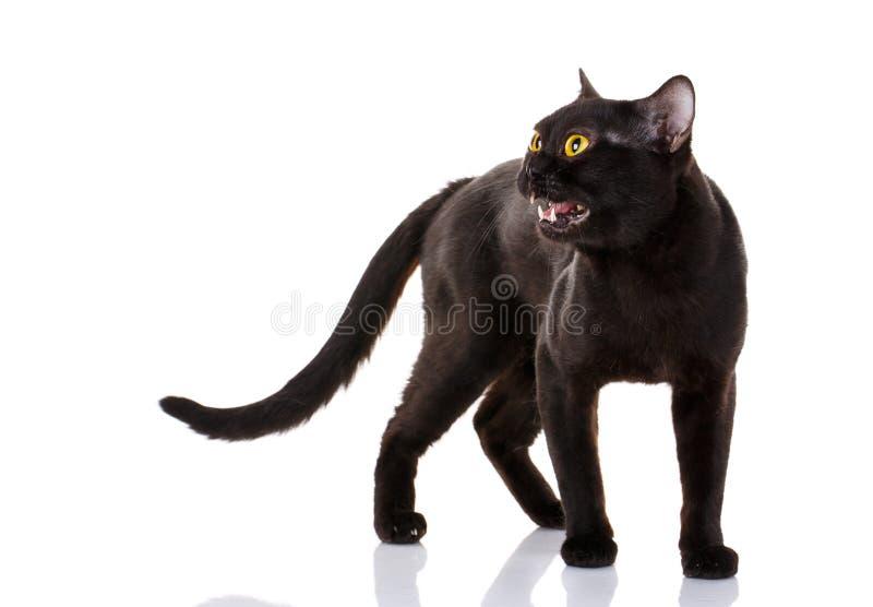 Czarny kot z jaskrawymi kolorów żółtych oczami i otwartym usta na białym tle obrazy stock