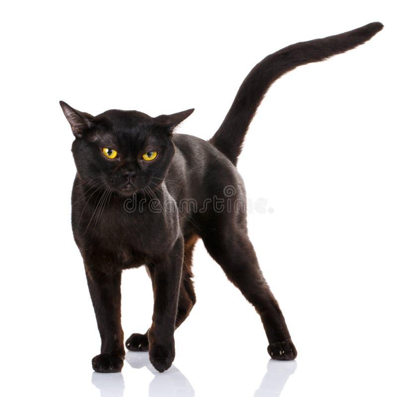 Czarny kot z kolorem żółtym ono przygląda się na białym tle obrazy royalty free