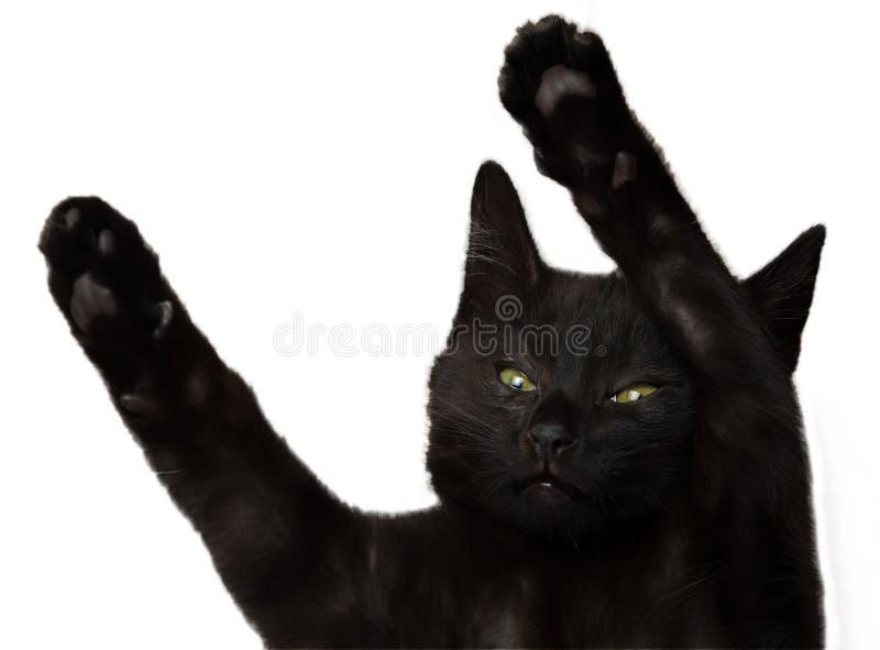 Czarny kot z nastroszonymi łapami pojedynczy białe tło zdjęcia royalty free