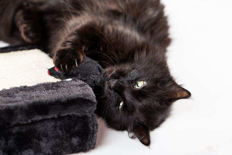 czarny kota bawić się obraz royalty free
