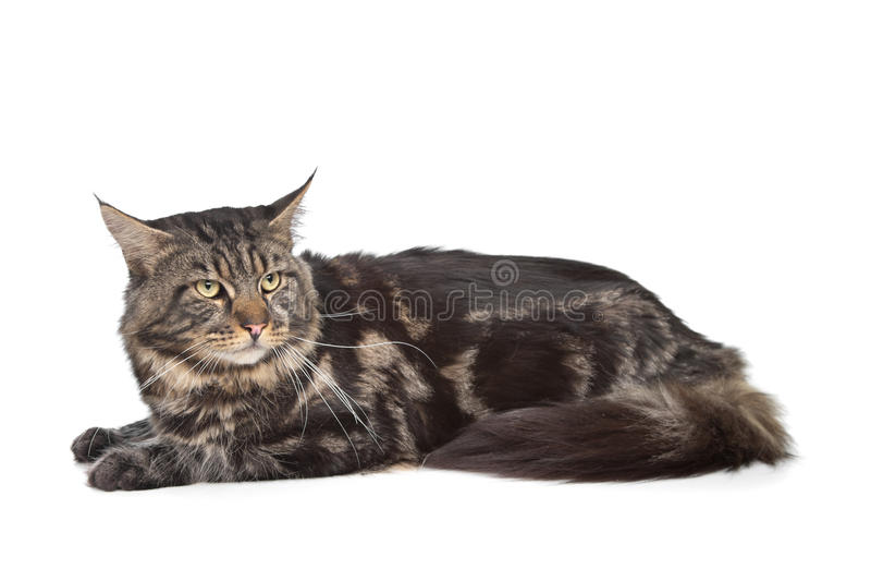czarny kota coon Maine tabby zdjęcia stock