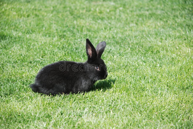 czarny królik. fotografia royalty free
