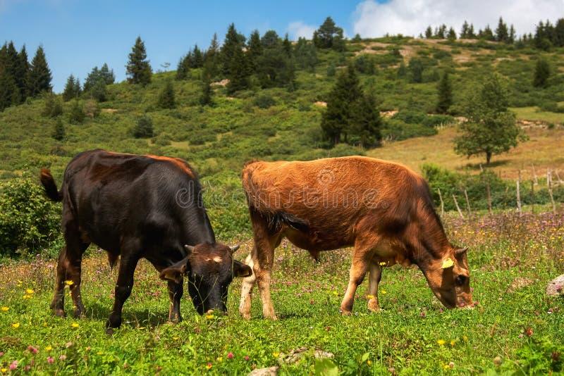 czarny krów futerkowy pasania jeden deresz dwa fotografia royalty free