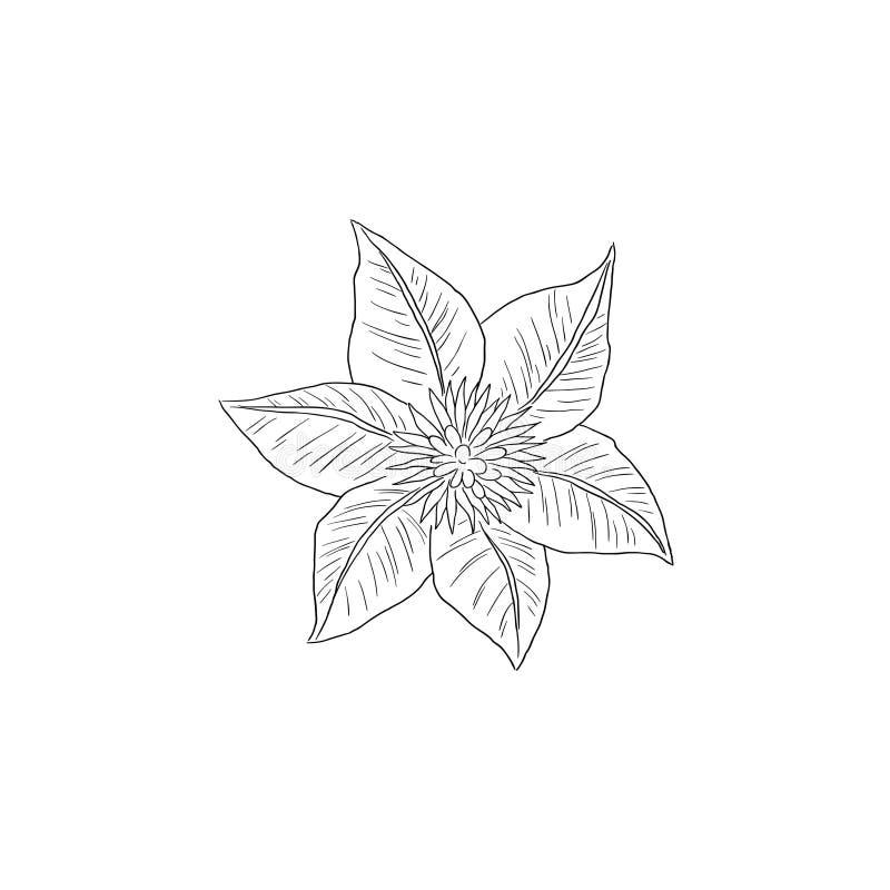 Czarny Kreskowej sztuki Clematis kwiat w Odgórnego widoku ręki remisu szczególe royalty ilustracja