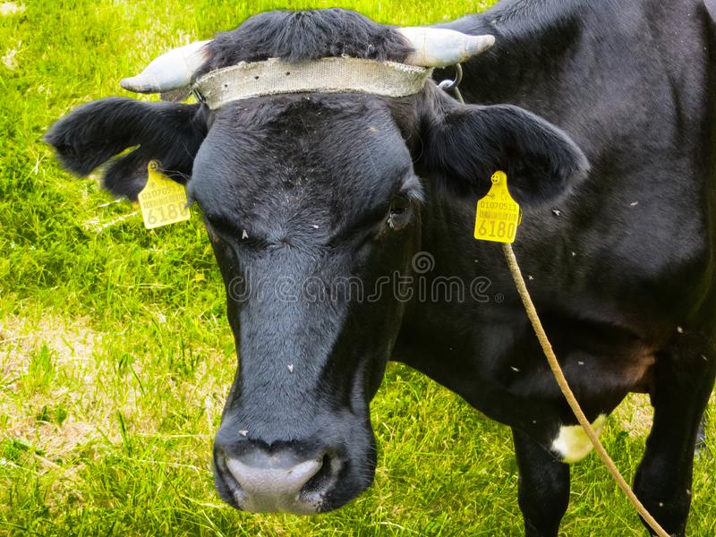 Czarny krowy pasanie w paśniku w wiosce zdjęcia stock