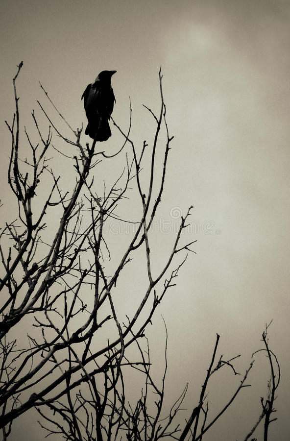 czarny kruk zdjęcie stock