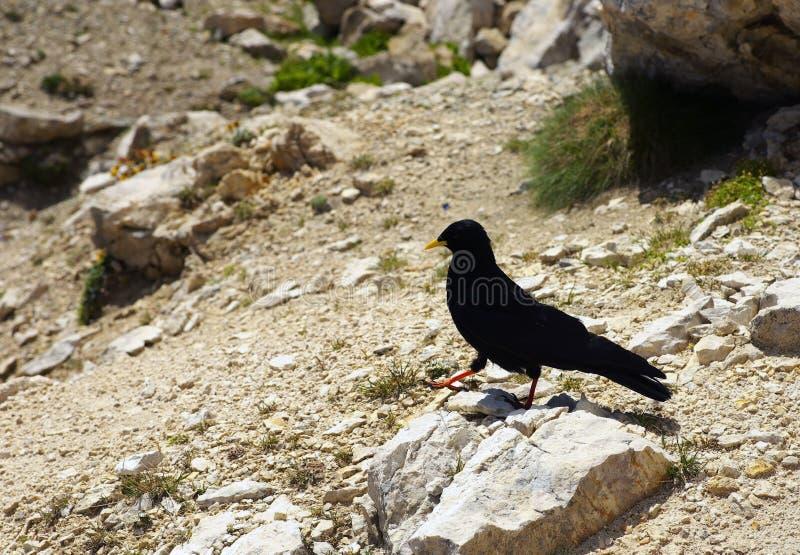 Czarny kruk na kamienistym groung zdjęcie royalty free