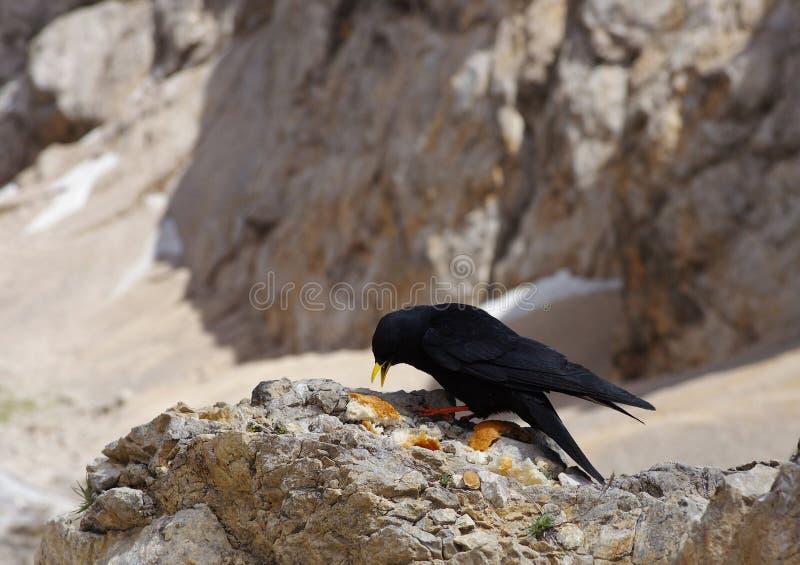 Czarny kruk na skale zdjęcia royalty free