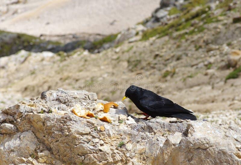 Czarny kruk na skale zdjęcie stock
