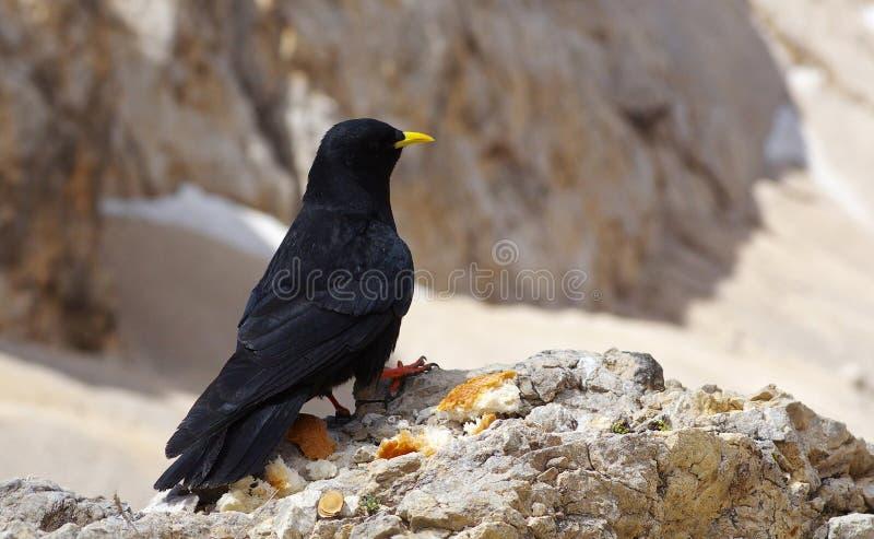 Czarny kruk na skale obrazy stock