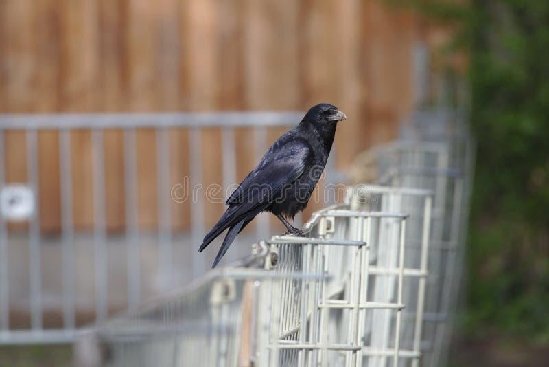 Czarny kruka obsiadanie na kruszcowym ogrodzeniu zdjęcie royalty free