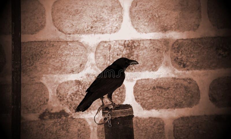 Czarny kruka sokolnictwo zdjęcie stock
