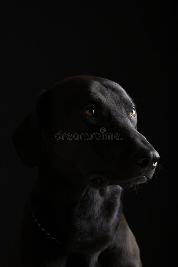 czarny labrador zdjęcia stock