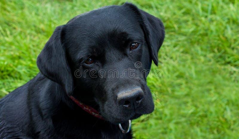 czarny labrador obraz stock