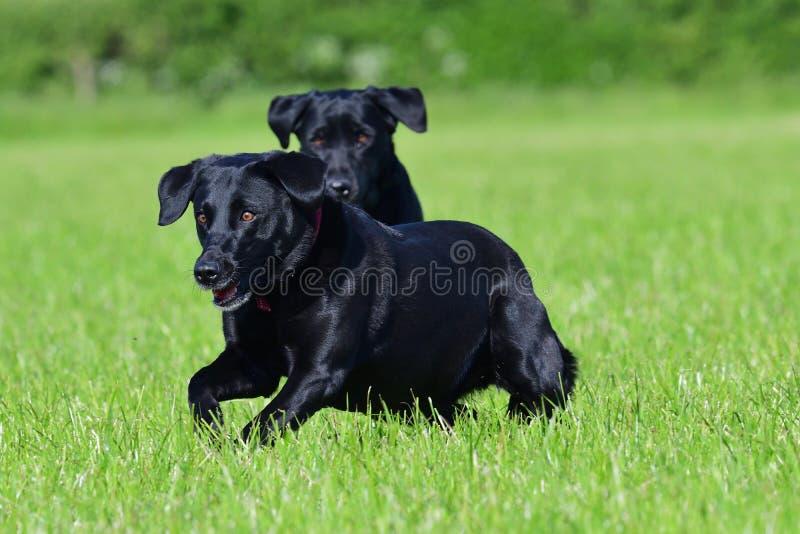 czarny labrador obrazy royalty free