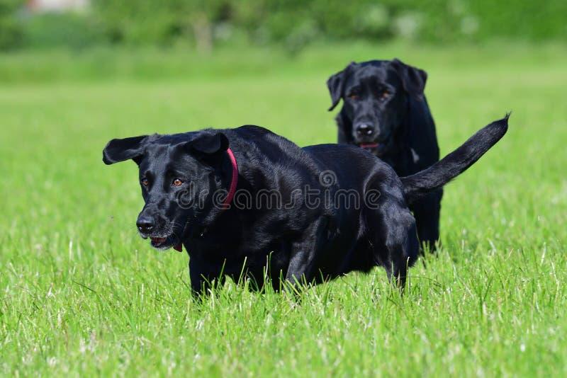 czarny labrador obrazy stock