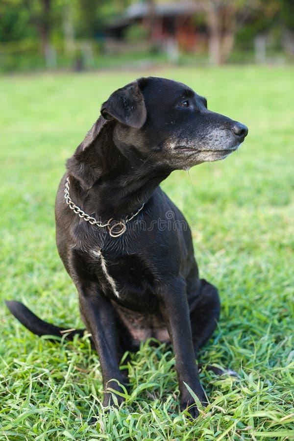Czarny labrador dostaje zmieszanym. fotografia stock