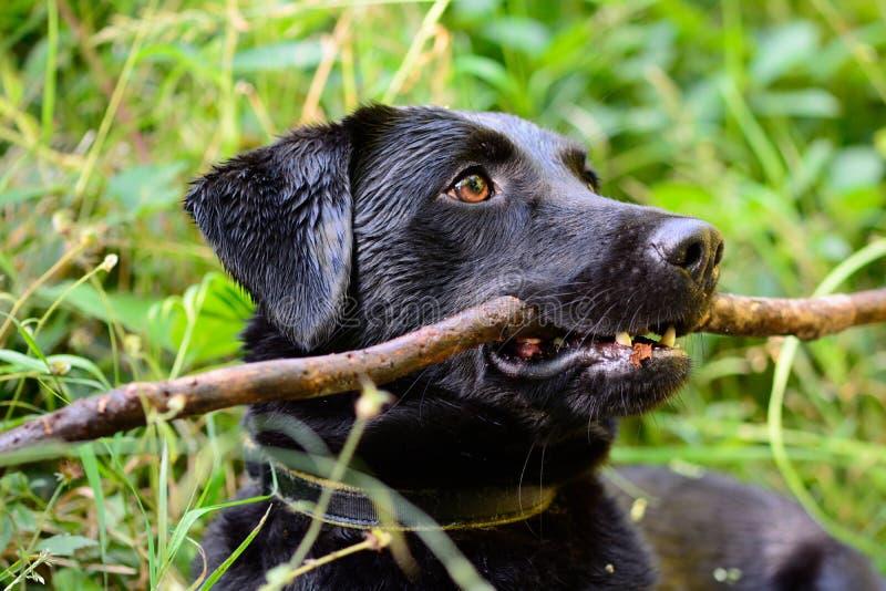 Download Czarny labrador z kijem obraz stock. Obraz złożonej z przez - 106911099
