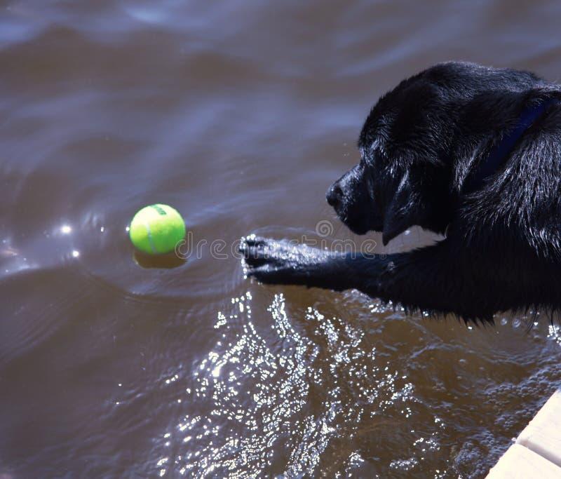 Czarny labradora dojechanie dla piłki fotografia royalty free