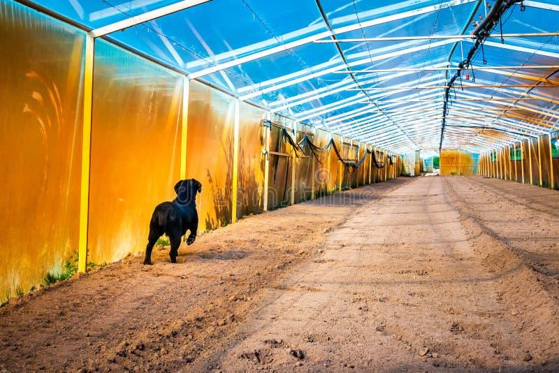 Czarny labradora odprowadzenie w zaoranej szklarni zdjęcie stock
