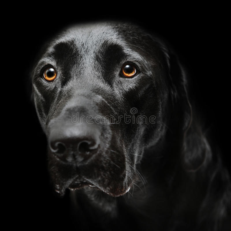 Czarny labradora pies zdjęcia royalty free