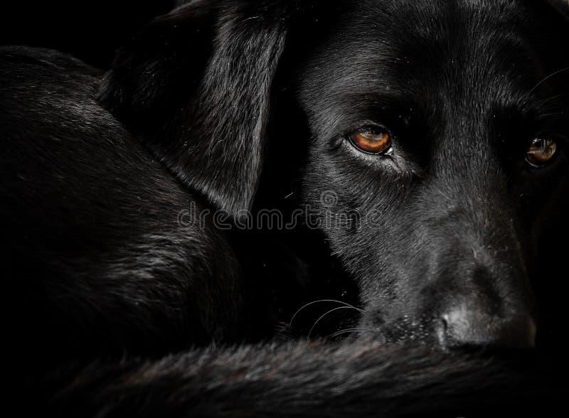 Czarny labradora pies przy odpoczynkiem obrazy royalty free